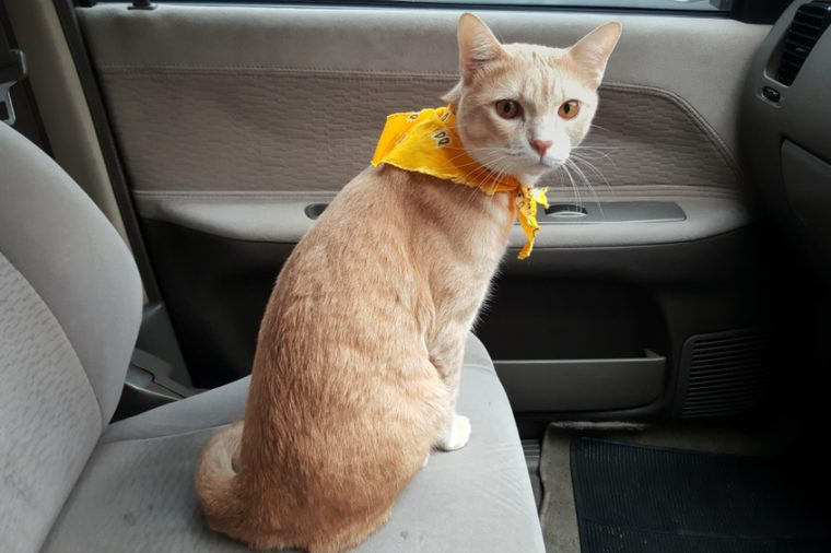 a bright cat wearing fabric collar sitting on the seat inside a car when travel with owner.