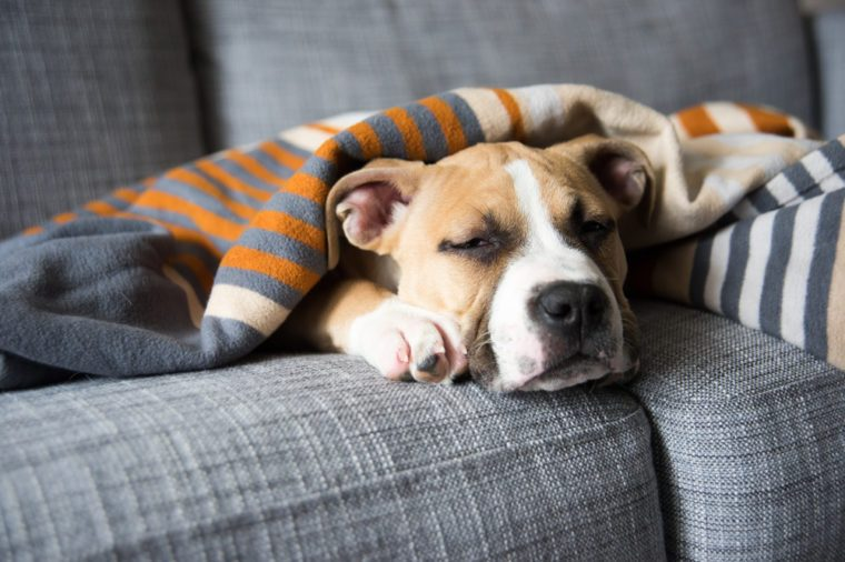 Bulldog Mix Puppy Sleeping on Gray Sofa at Home
