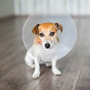 Small dog Jack Russell terrier sitting with vet Elizabethan collar on the gray floor