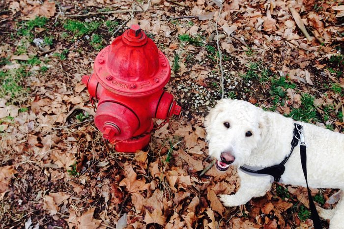 A golden doodle smiles as it approaches a fire hydrant.