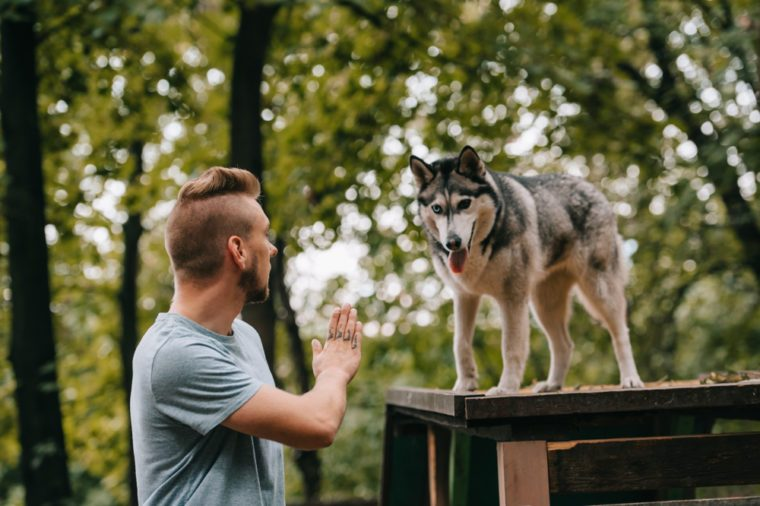 cynologist gesturing command to husky dog on obstacle