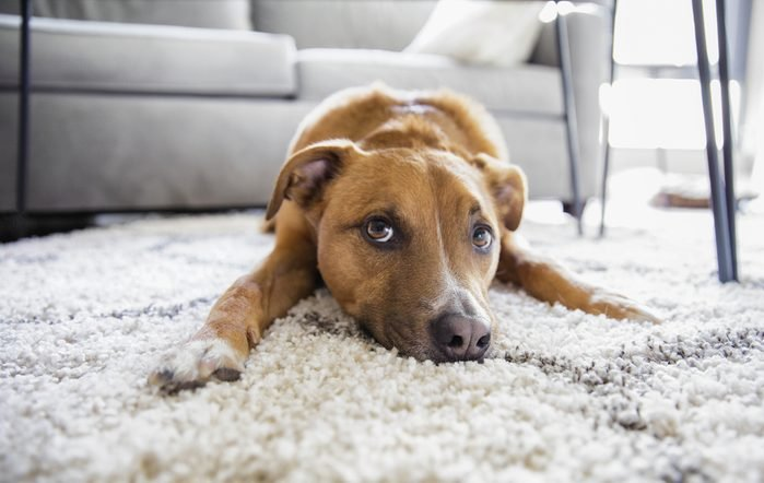 Shepherd mix puppy dog makes funny face lying on shag rug carpet at home