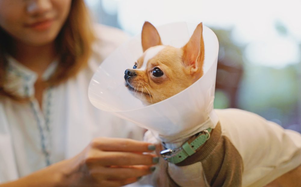 Young asian woman wearing collar cone for her chihuahua dog for protecting
