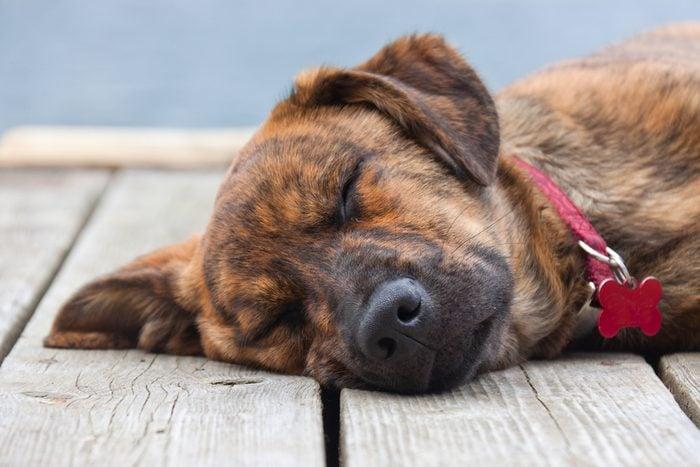 A brindled Plott hound puppy on a porch