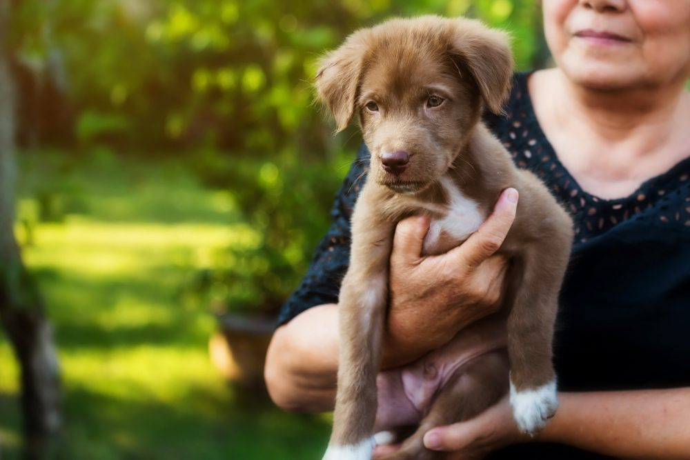 Happy owner carry new Labrador Retriever puppy with foliage bokeh and sunset light. Adopt a canine to celebrate the year of dog 2018 for her luck. New lovely member of family with copy space for text.