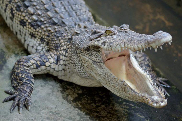 Siamese Freshwater Crocodile from Samut Prakan Province thailand