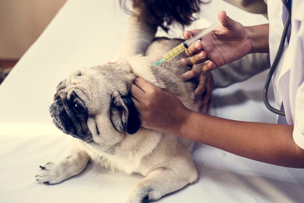 Pet pug getting a vaccination