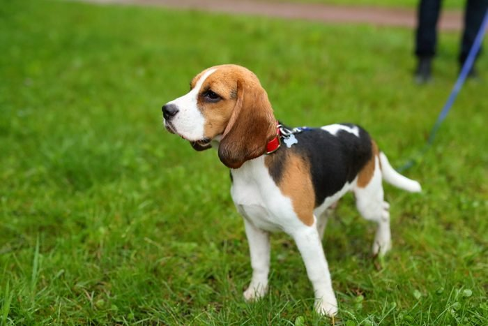 Beagle dog on blue leash standing in park in rainy day.