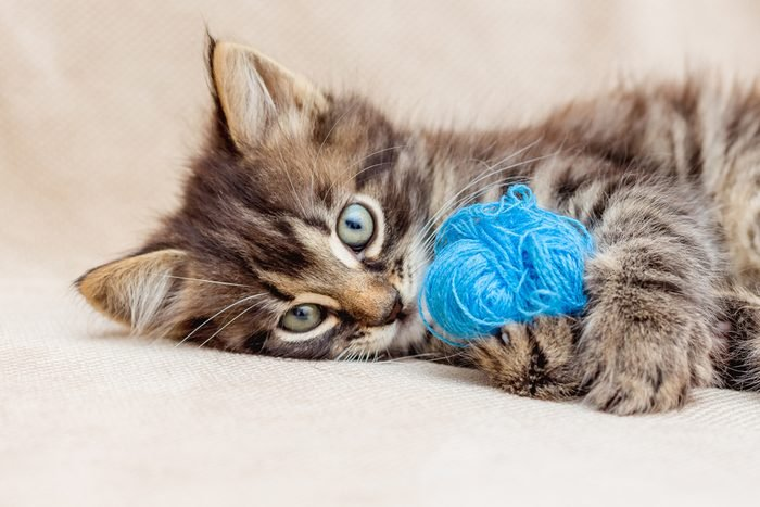 A small striped kitten is playing with a blue clue of yarn