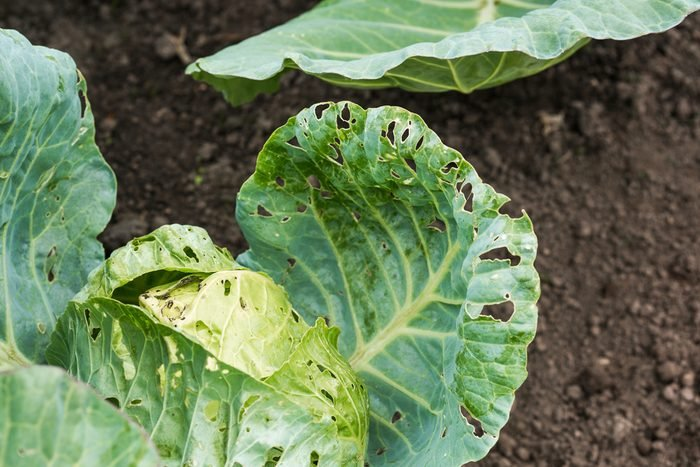 vinegar uses eliminate garden insects