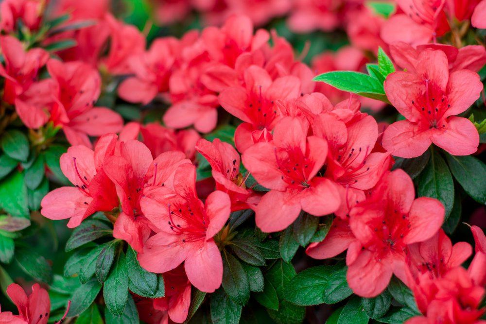 vinegar uses bloom azaleas and gardenias