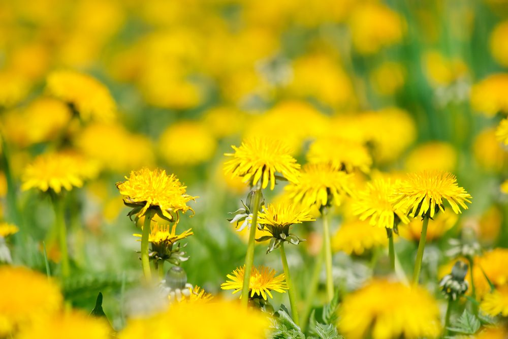 vinegar uses exterminate dandelions and unwanted grass