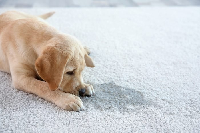White vinegar for cleaning pet accidents dog pee