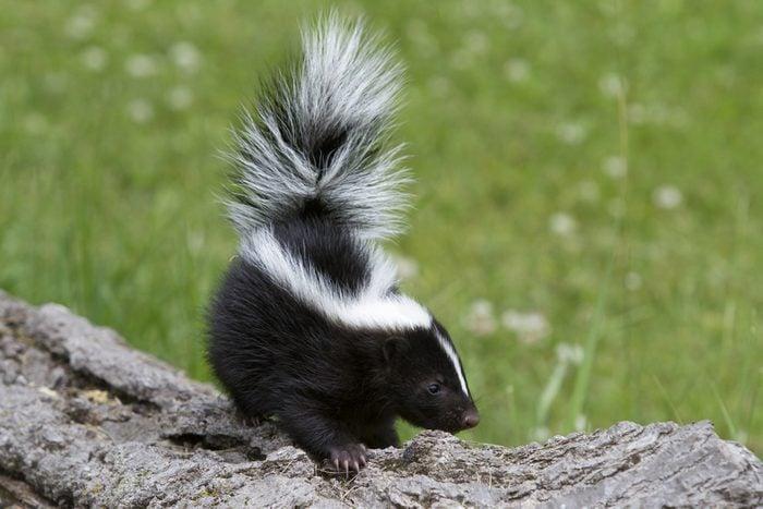 White vinegar uses remove skunk odor skunk smell