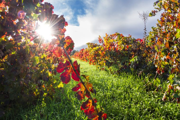 colorful autumn vineyard in Calistoga California early morning with the sun breaking thru the fog in the background