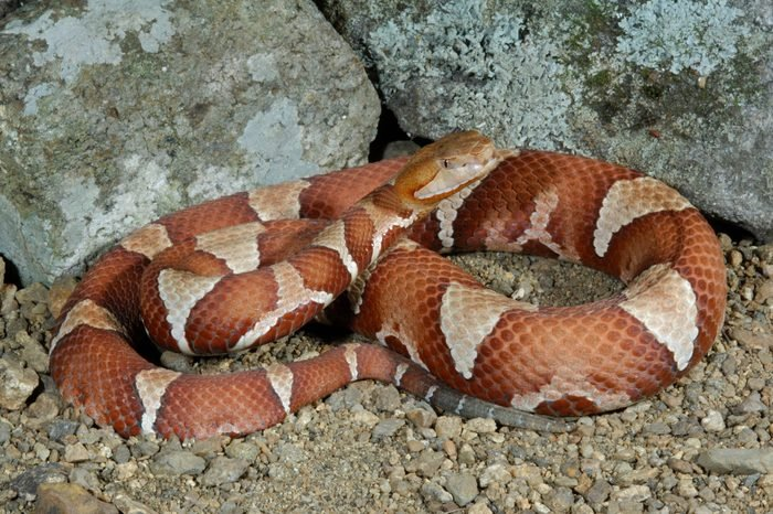 Trans-Pecos CopperheadAgkistrodon contortrix pictigaster