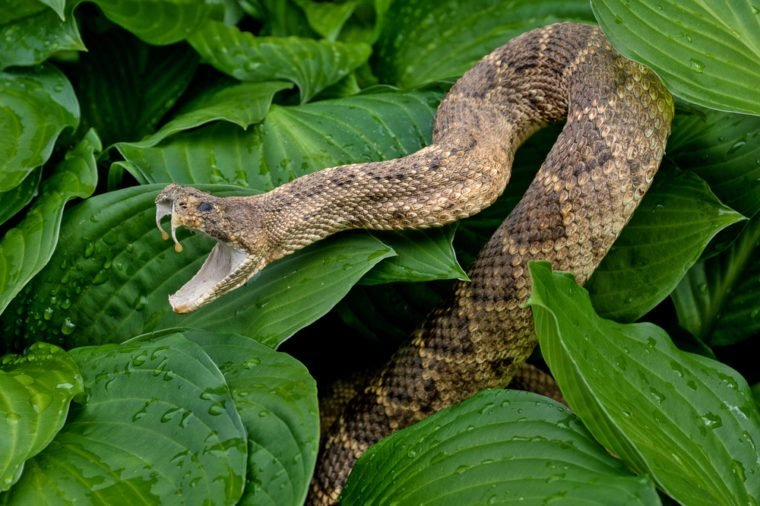 close up of rattlesnake in hostas plants with raindrops