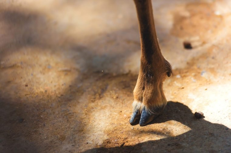 Legs of a mountain goat. Hooves of a goat. Wild goat hoof