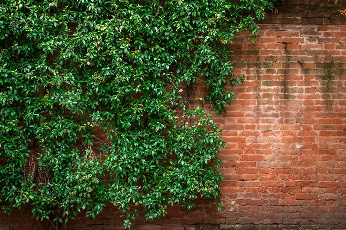 Brick wall and green leaves