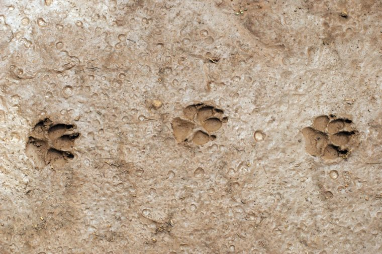 Dog paw prints in mud.