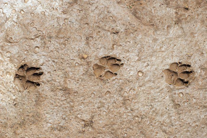 Dog paw prints in mud.