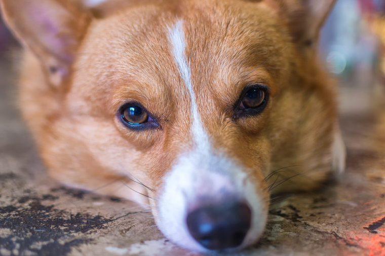 Corgi dog