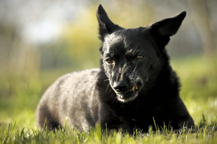 Small black dog shows fangs on green grass