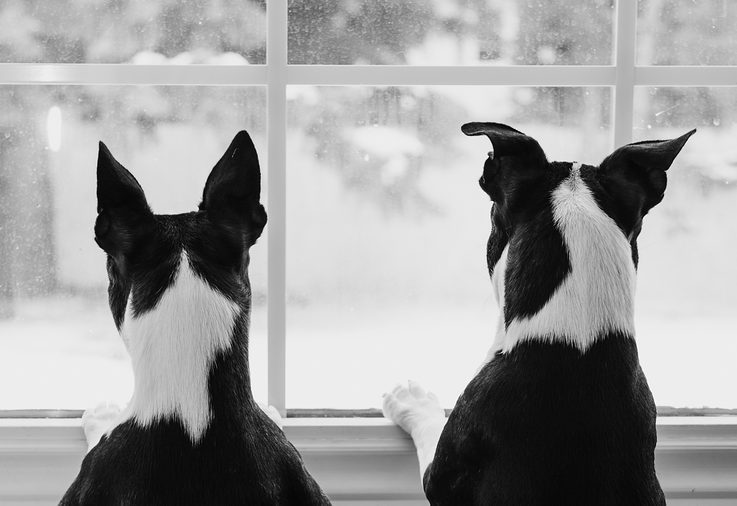 Boston Terrier Dogs at Window