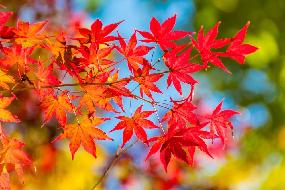Abstract background of colorful beautiful autumn leaves and branches in their natural environment. Orange red and green leaves and blue sky. Photograph with sharp blur