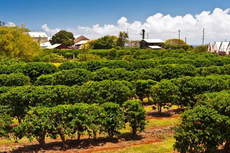 Coffee plantation in Maui, Hawaii