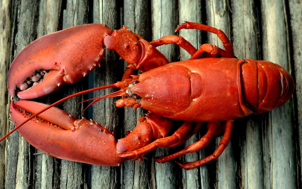 Whole Red Lobster on Rustic Wood Background