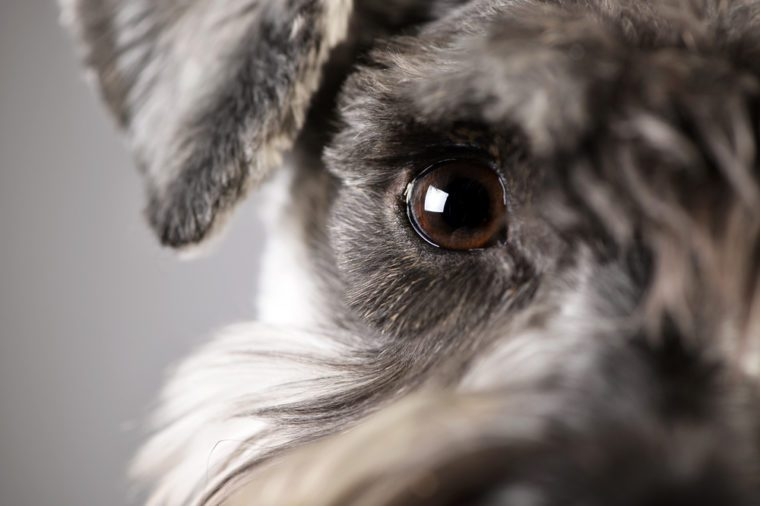Portrait of an adorable miniature schnauzer - studio shot, isolated on grey.