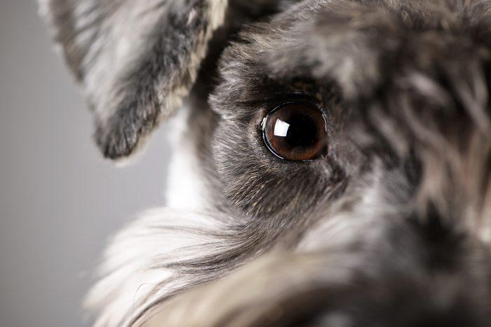 Portrait of an adorable miniature schnauzer - studio shot, isolated on grey.