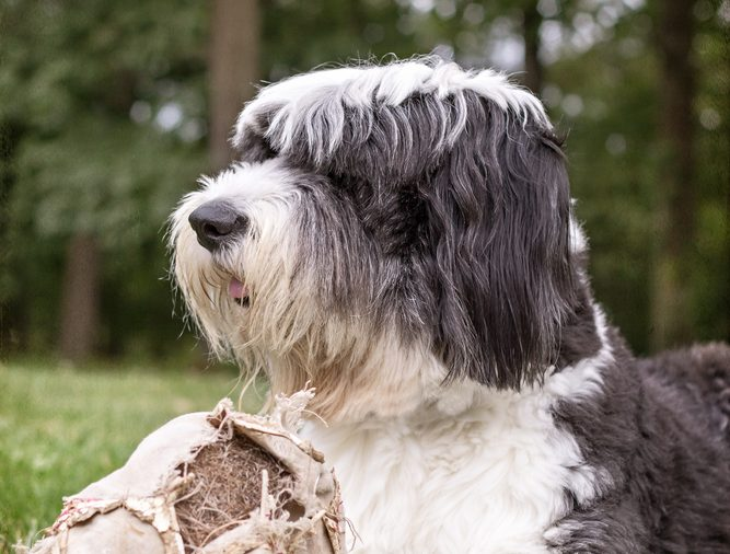 Old English sheepdog lying in grass with old soccer ball