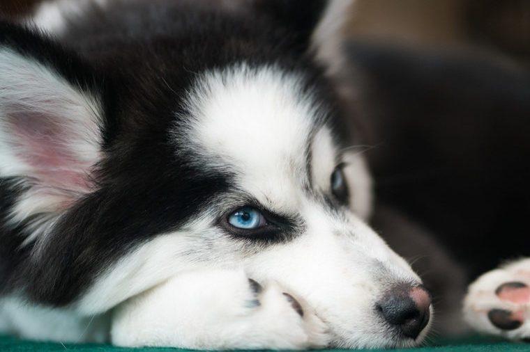 Pomsky (Husky Pomeranian Mix) Lying Down