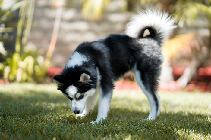 Pomsky Puppy on the Grass