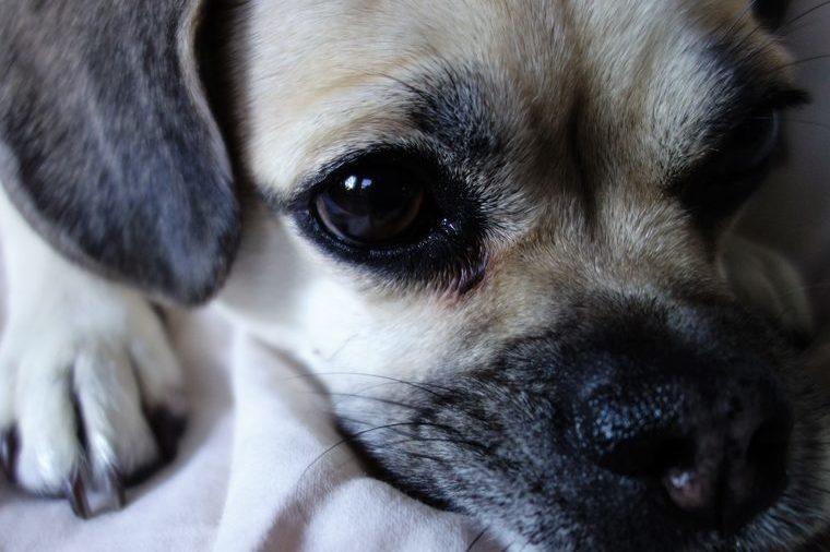 Puggle dog face close-up