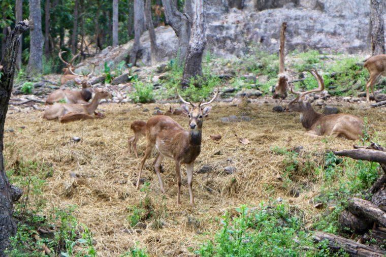 Schomburgk's deer, Rucervus schomburgki, Cervus schomburgki on the straw.