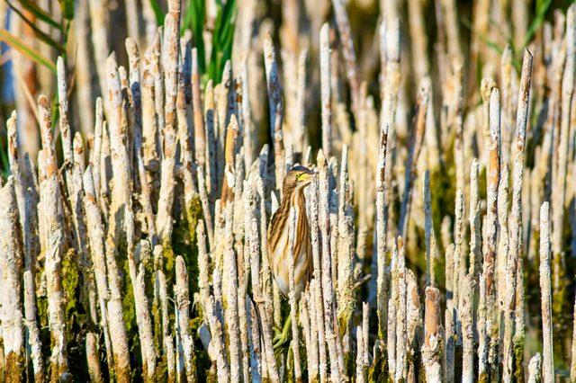 Heron and habitat. Lake reeds background. Camouflage animal. Bird: common Squacco Heron. Ardeola ralloides.