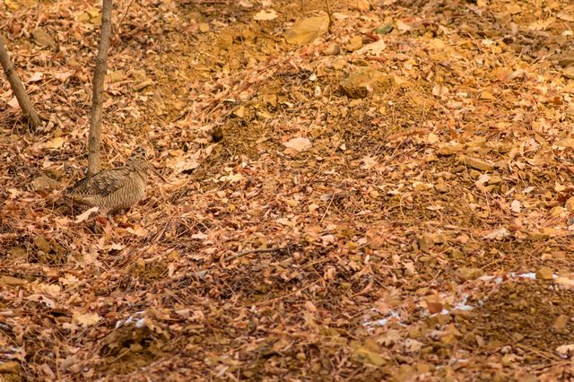 Camouflage bird woodcock. Brown dry leaves background. Bird: Eurasian Woodcock. Scolopax rusticola.