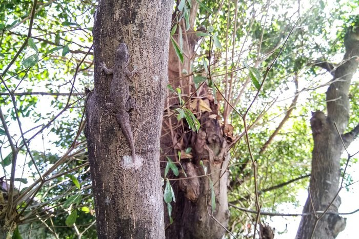 Camouflage lizards on the tree.,The camouflage of animals for food and survival.,soft focus.