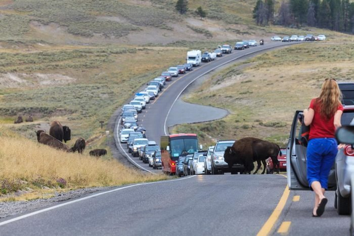 Yellowstone, Wyoming - August 12, 2013: Bison crosses road causing traffic jam in the Yellowstone National Park