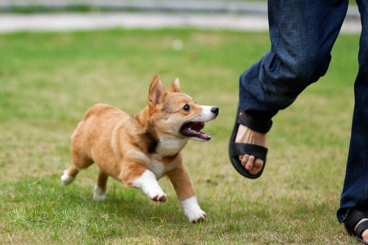 pembroke welsh corgi dog running and chasing a leg of a running man on green grass