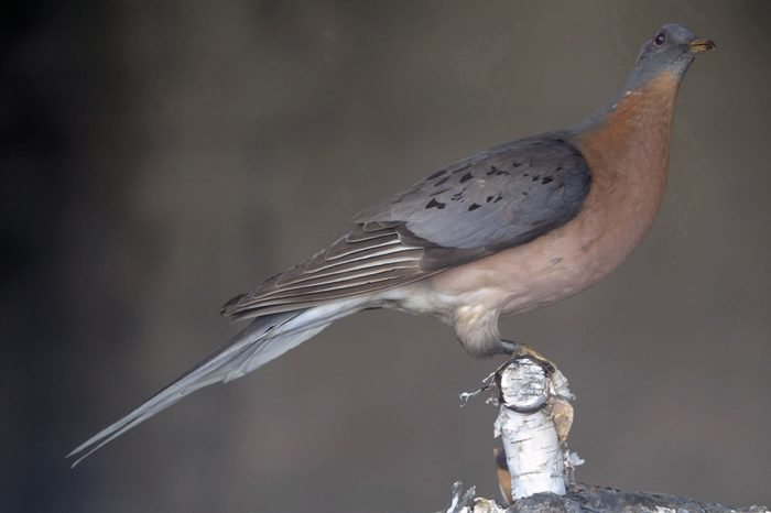 PASSENGER PIGEON, KNOXVILLE, USA