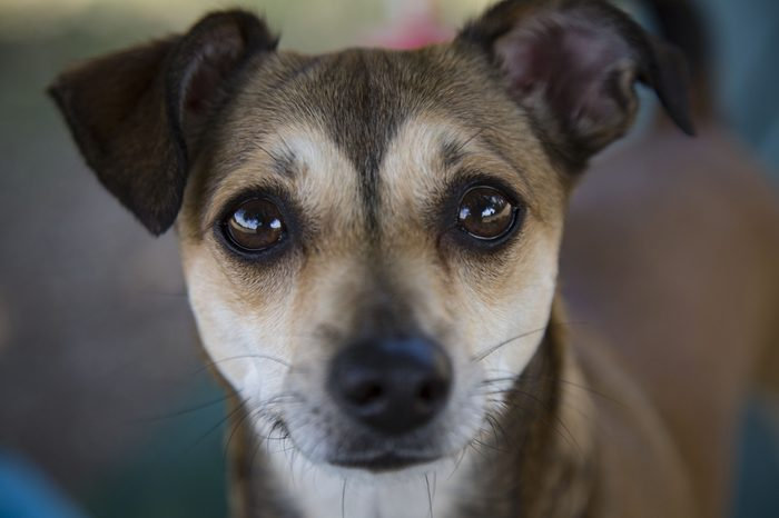 Head Shot Dog with Big Soulful Eyes Against Out of Focus Background