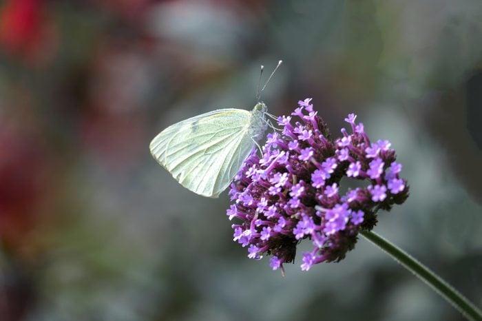 Madeiran large white (Pieris brassicae)