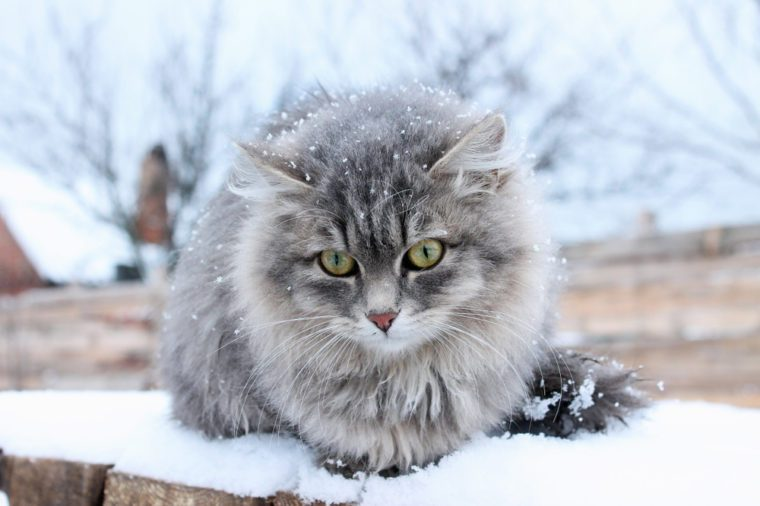 furry Siberian gray cat in the snow