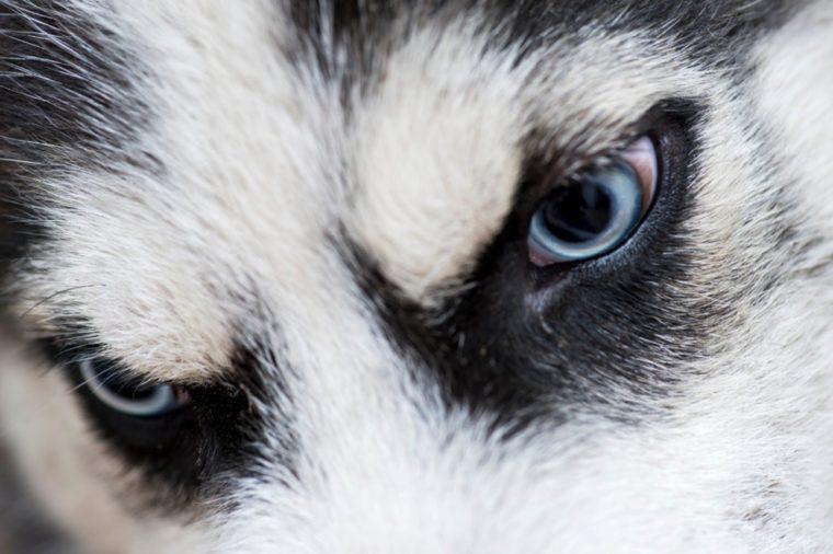 Grey and white siberian Husky dog's face close up. Husky's eyes