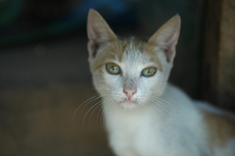 portrait of a skinny white and red cat in Africa, outdoors with natural sunlight