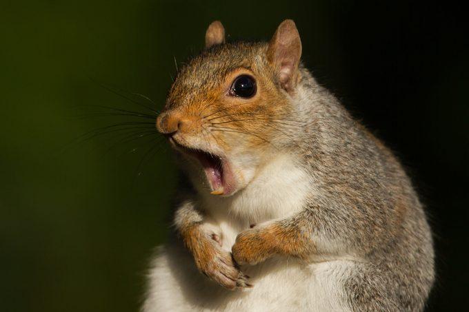 Grey squirrel yawning